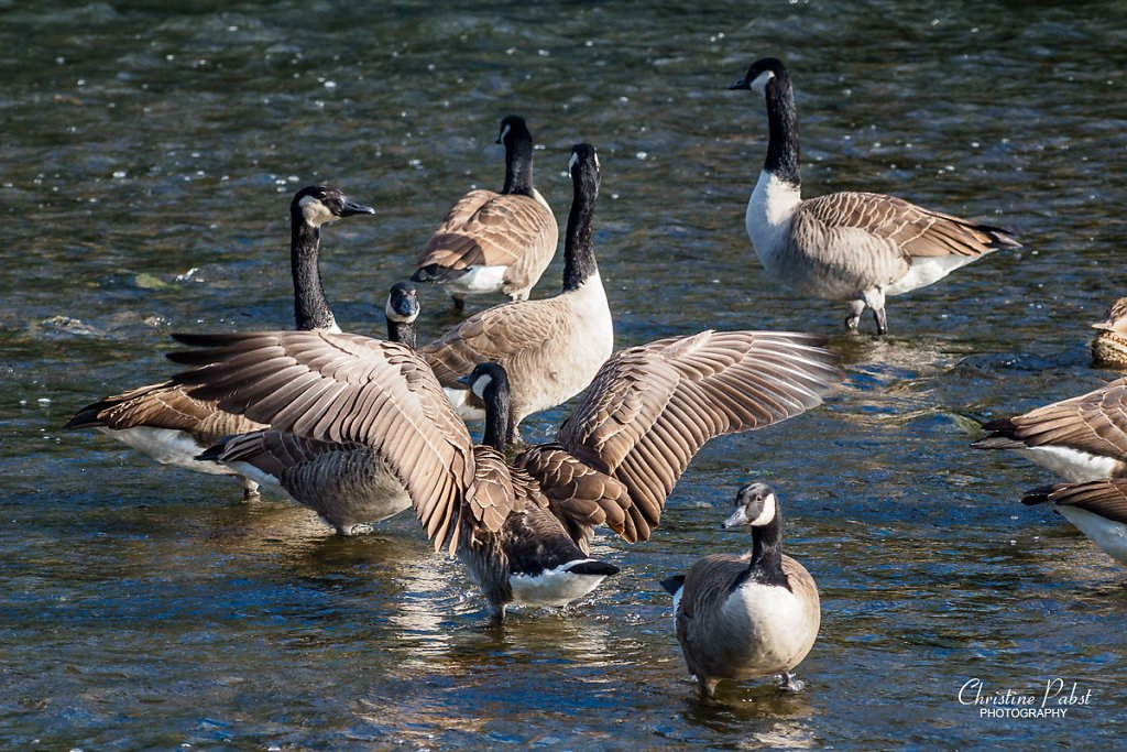 Geese at river Sieg